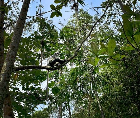 Thomas Leaf Monkey in Bukit Lawang, Sumatra, Indonesia Banque d'images