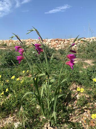 Sword Lilly Flourishing in Malta. Hight quality photo.