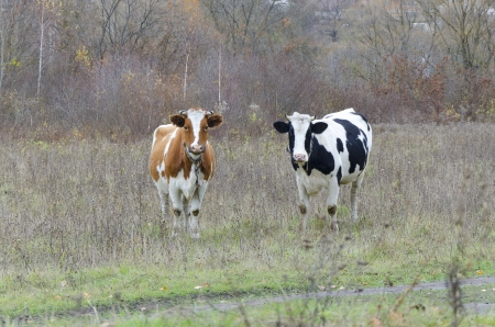 red heifer: Two cows in a field look into the lens Stock Photo