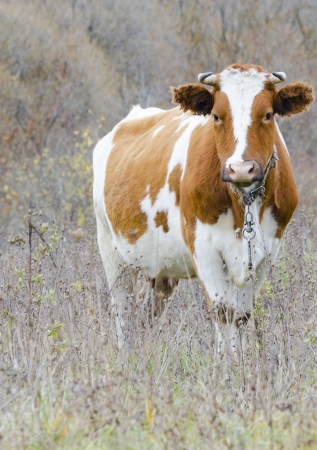 red heifer: white-red cow looks at the camera