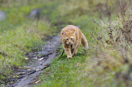 Red cat walks in the line with the autumn grass on a leash right at you photo