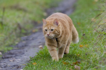 Red cat walks through the meadow with green grass and fallen leaves photo