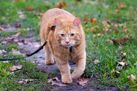 Red cat walks in the autumn grass on a leash photo