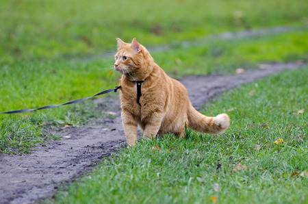 Red cat walking on a leash along the footpath on the background  photo