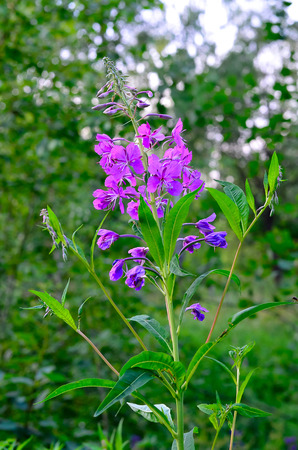 angustifolium: Herb willow-herb (Chamerion angustifolium)