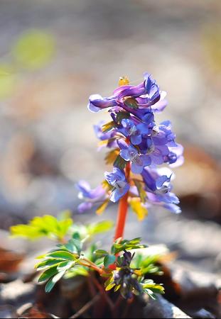 corydalis: Plant primrose - Corydalis forest Stock Photo