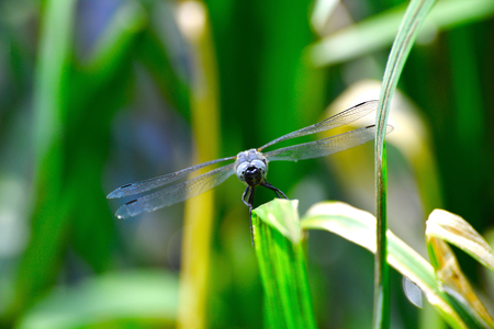 libellula: Dragonfly  (Libellula depressa) close-up peers into the camera