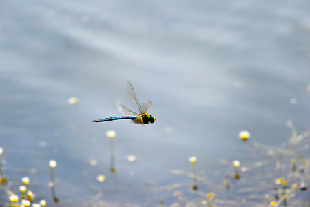 imperator: Dragonfly Anax imperator Leach  close-up flying over water