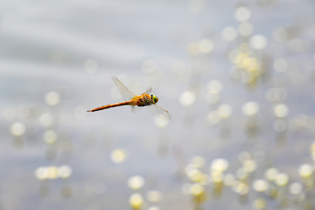 sympetrum: Dragonfly Sympetrum close-up flying over water Stock Photo