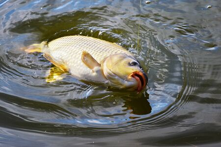 sea fishing: Catching carp fishing rod with a hook and fishing line in the water close up