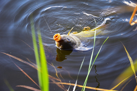 Catching carp fishing rod with a hook and fishing line in the water close up