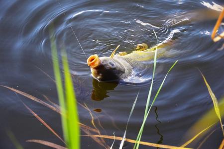 pescando: La captura de la barra de pesca de la carpa con una l�nea de conexi�n y la pesca en el agua cerca