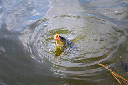 pisciculture: Catching carp fishing rod with a hook and fishing line in the water close up