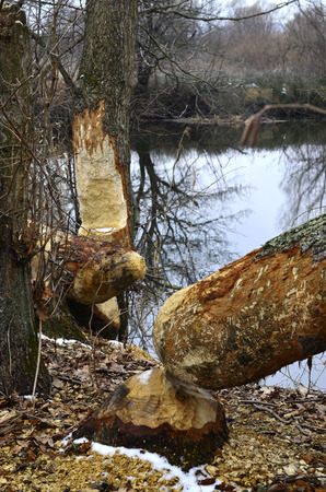 sound bite: Trees felled by beavers on the river in the spring