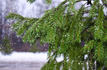 winter thaw: Branches of pine with drops and falling wet snow in the winter forest thaw
