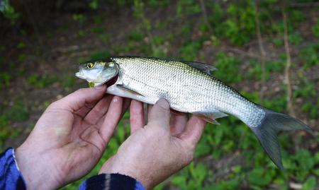 asp: Asp (Aspius aspius) Fish in hand fisherman closeup. Stock Photo