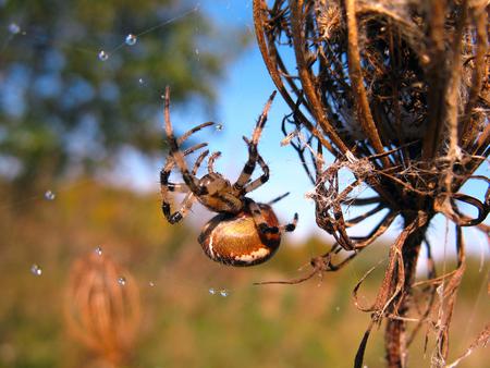 thorax: Spider on spider web after rain