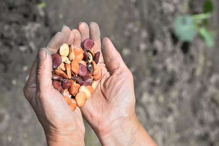pinto bean: Beans beans in a female hands on a background of garden beds.