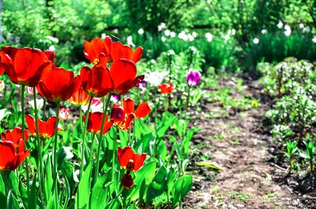 vibrant cottage: Flowering tulips on a flowerbed in a garden in the spring.