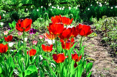 Flowering tulips on a flowerbed in a garden in the spring.