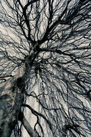 Guardando verso l'alto in un albero spoglio olmo ramificato staglia contro un cielo grigio Archivio Fotografico
