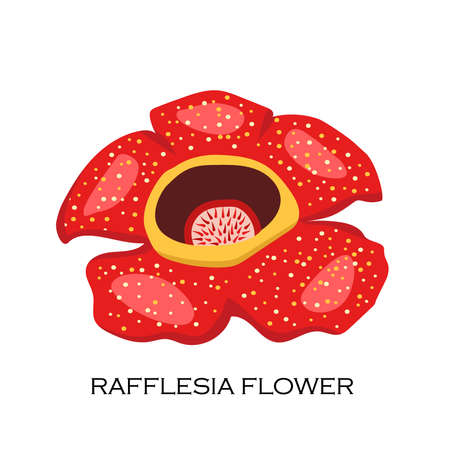 Corpse flower Rafflesia arnoldii . The biggest flower in the wolrd. Malaysian symbol. Vector illustration