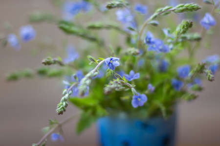 depth of field: Small blue wild flowers Veronica armena, shallow depth of field