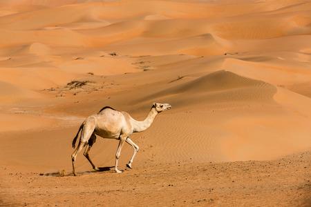 Kamelen in de liwawoestijn van Abu Dhabi, de VAE Stockfoto