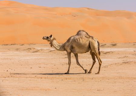 Chameaux dans le désert de liwa d'Abu Dhabi, EAU