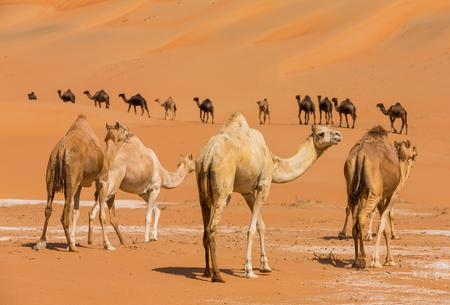 Camelos no deserto de liwa de Abu Dhabi, Emirados Árabes Unidos