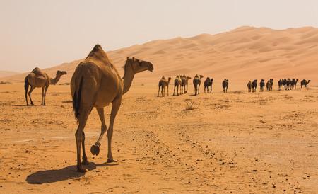 아부 다비 아랍 에미리트 연방에서 liwa 사막에서 걷고 낙타의 그룹