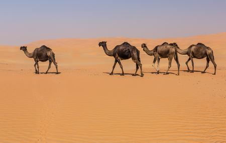 Camels  in the liwa desert of western region Abu Dhabi, UAE