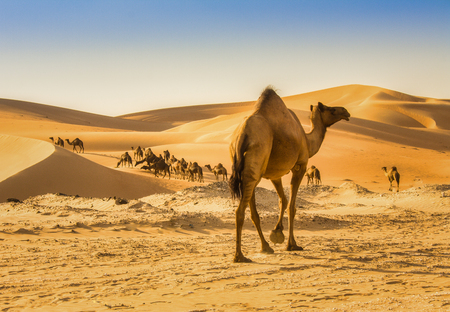 camel in liwa desert in Abu Dhabi Stock Photo