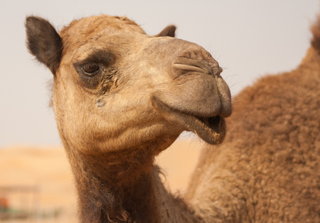 Camel in liwa desert in Abu Dhabi UAE Stock Photo