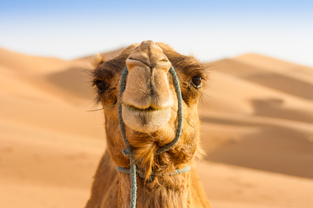 Camels  in the liwa desert in Abu Dhabi UAE Stock Photo