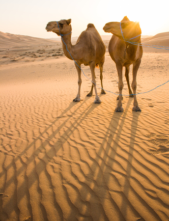 Camel with sunset in liwa desert of Abu Dhabi, UAE