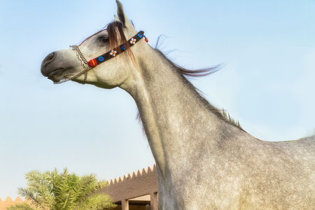Beautiful Arabian horse in Ajman, united arab emirates