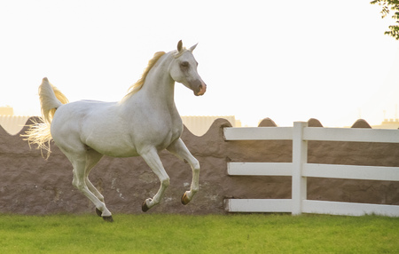Beautiful Arabian horse in Ajman