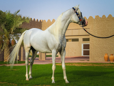 Beautiful Arabian Horse in United Arab Emirates