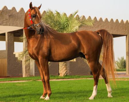Beau cheval arabe dans les emirats arabes unis emirats arabes unis Banque d'images - 99121178