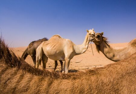 Group of Camels in the liwa desert in Abu Dhabi
