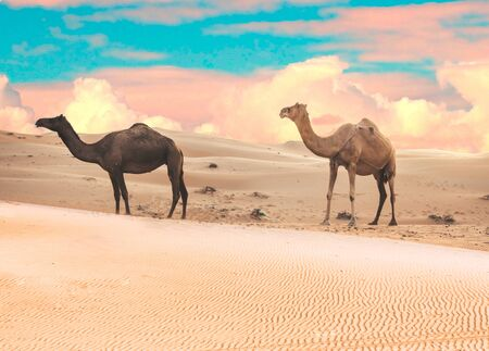 Tow camels view in Liwa Desert in the western region of Abu Dhabi