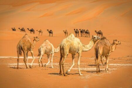 Group Of Camels walking in liwa desert in Abu Dhabi UAE Foto de archivo