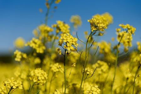 Yellow flowers of rape against the blue sky