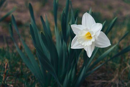 White flower of narcissus