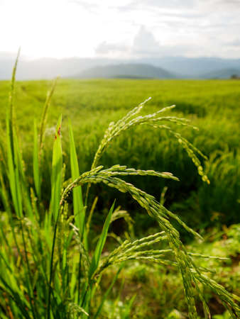 albero nocciolo: The green rice from rice terrace in Thailand. Archivio Fotografico