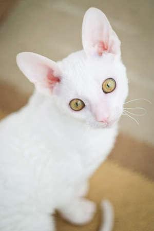 cornish rex: Young white Cornish Rex cat looking at camera Stock Photo