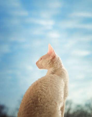 cornish rex: Young Cornish Rex cat looking through the window