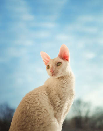 Young Cornish Rex cat looking left photo