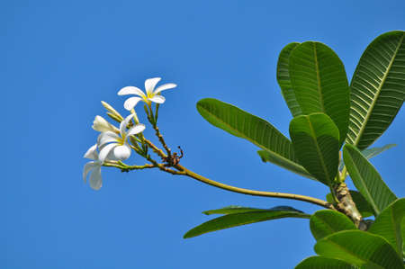 White frangipani bunch on blue sky background photo